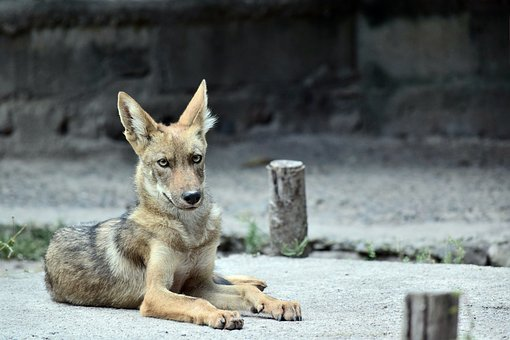 Coyote, Animal, Zoo, Nature, Outdoors