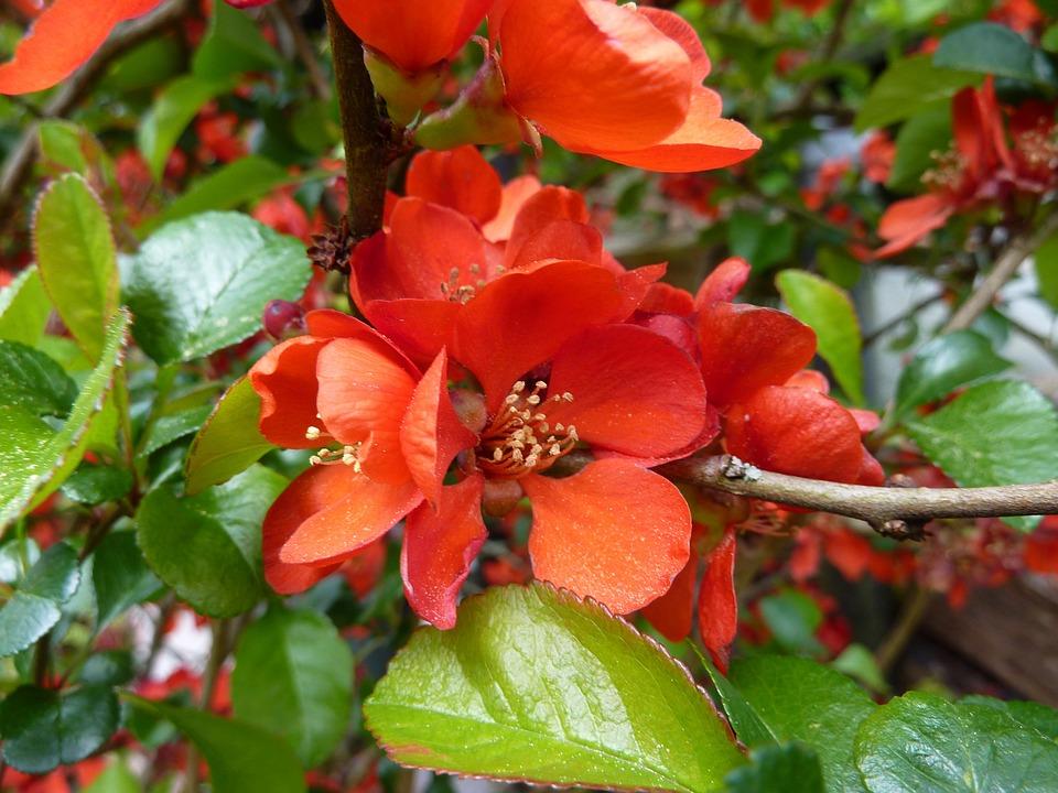 Quittenblüte Gartenstrauch Orange Kostenloses Foto Auf Pixabay