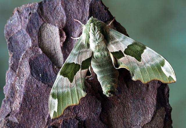 Photo Gratuite Papillon De Nuit Hawkmoth Image