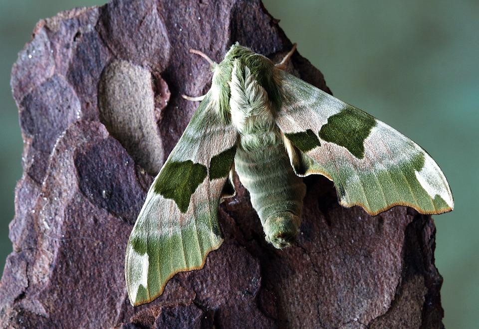 Photo gratuite papillon de nuit hawkmoth image gratuite sur pixabay 1811504 - Invasion papillon de nuit ...