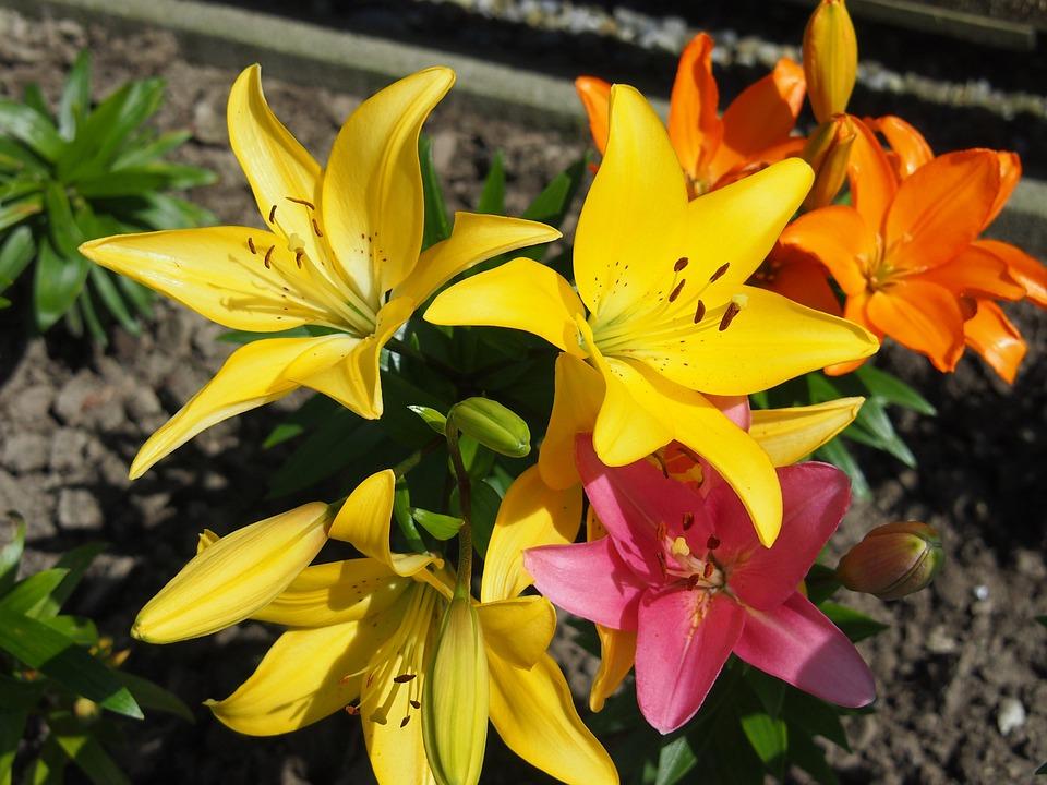 Garten Lilien Pflanzen Kostenloses Foto Auf Pixabay