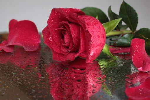 Rose, Flor, Rosa Vermelha, Bela Flor