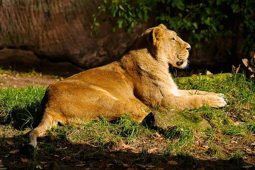 Attention images gratuites sur pixabay - Photos de lions gratuites ...