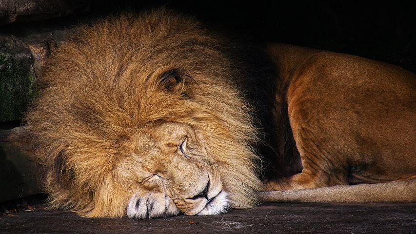 Лев спящий картинка