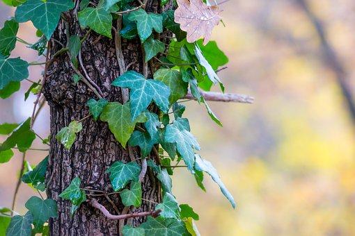 Efeu, Baumstamm, Herbst, Rinde