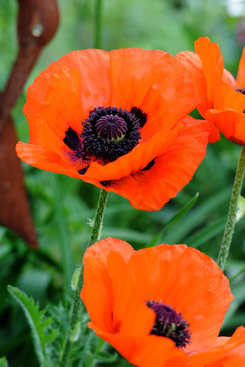необычном способе как выглядит мак цветок фото расскажу