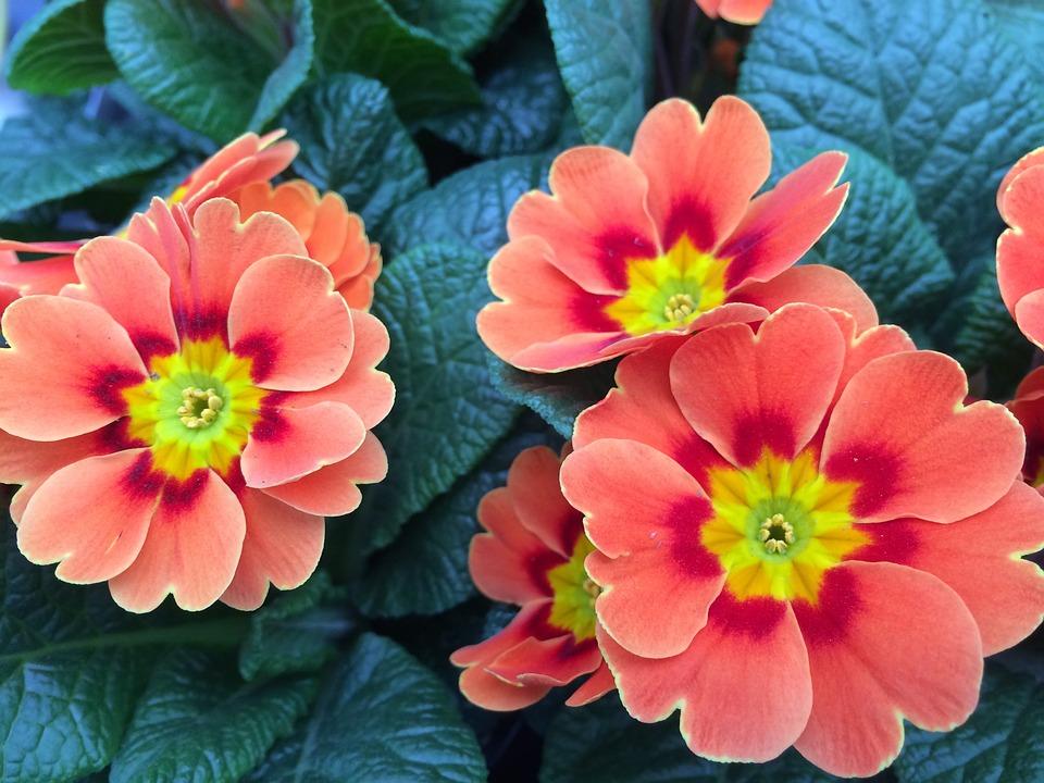 Primrose, Greenhouse - Free images on Pixabay