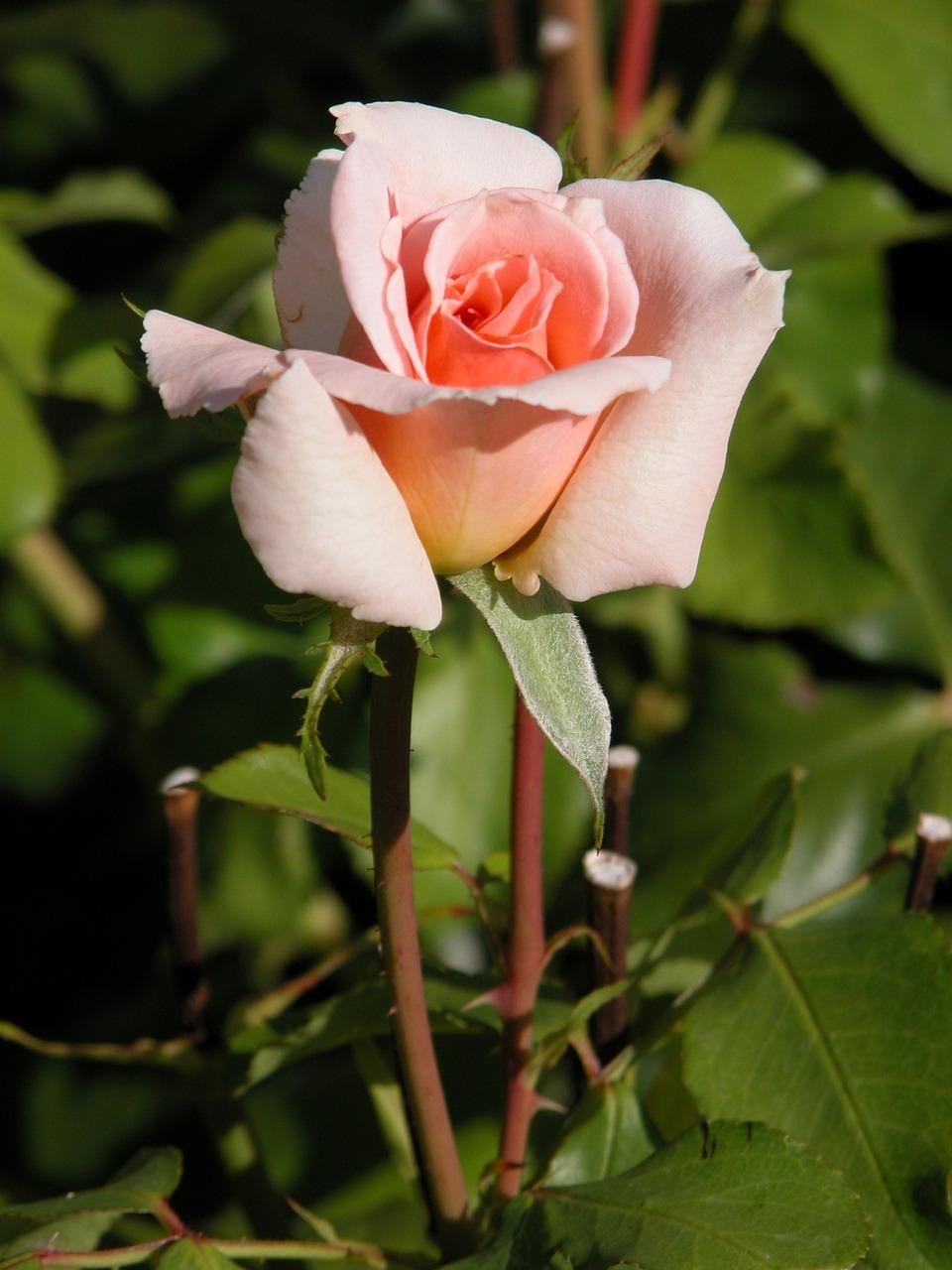 Цветы роза картинки природы