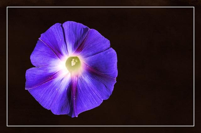 Free illustration: Morning Glory, Winds, Blossom - Free Image on ...