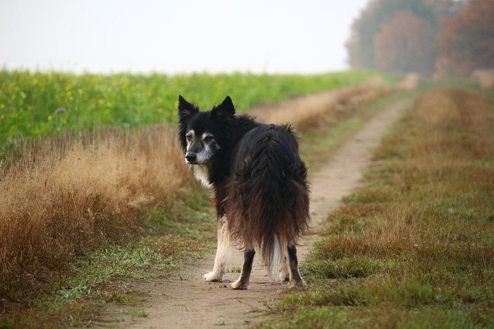 photo gratuite  border collie  chien