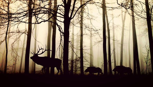 Forest Fog Hirsch Wild Boars Nature Animal