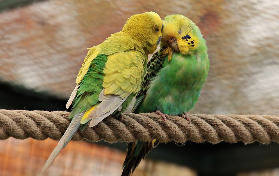 Periquitos Australianos, Las Aves, Verde, Amarillo