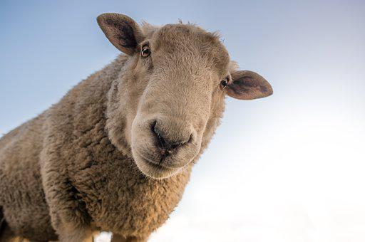 Sheep, Curious, Look, Farm, Animal