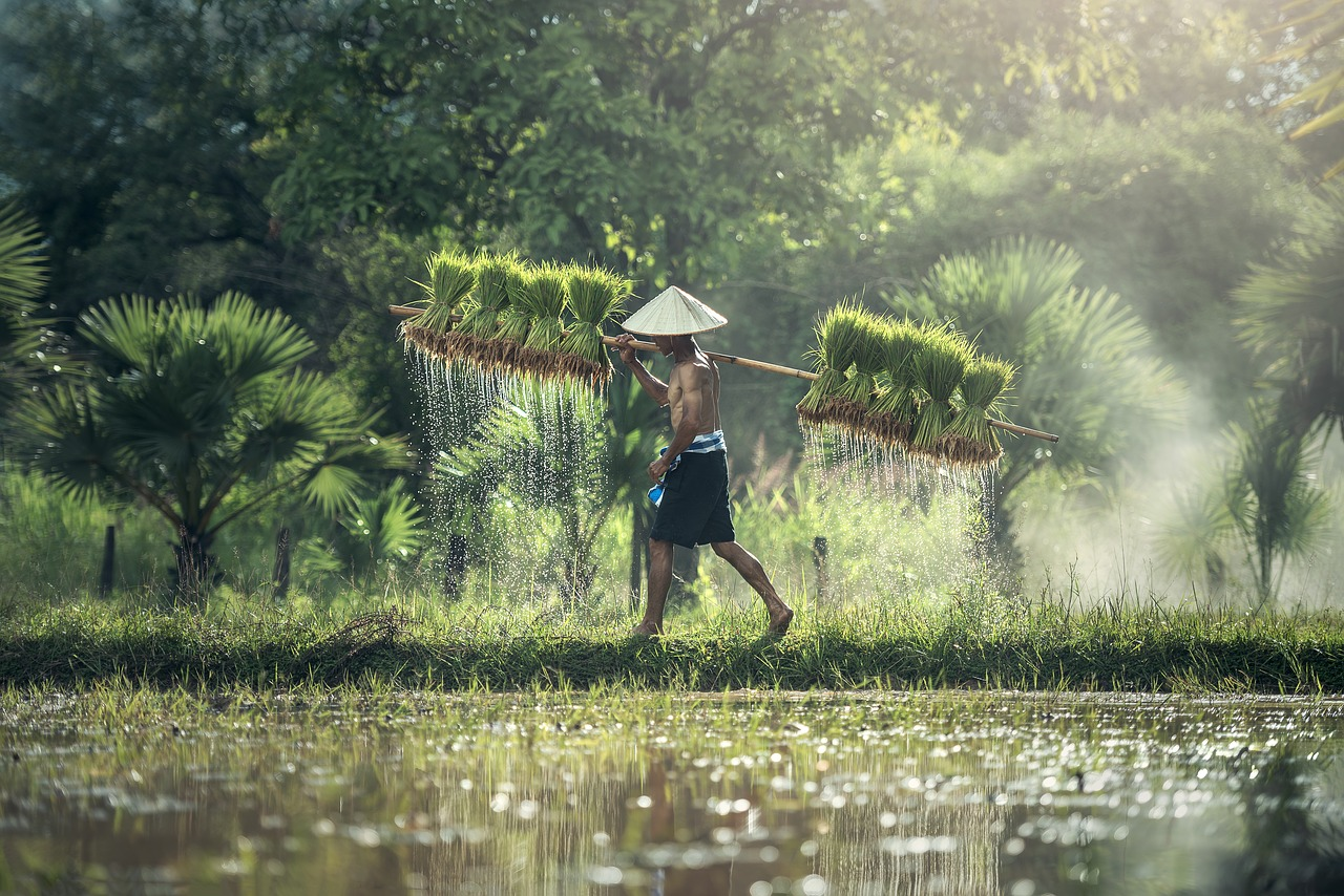 Rice farmer in subtropical Southeast Asia