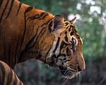 tiger, aggression, animals