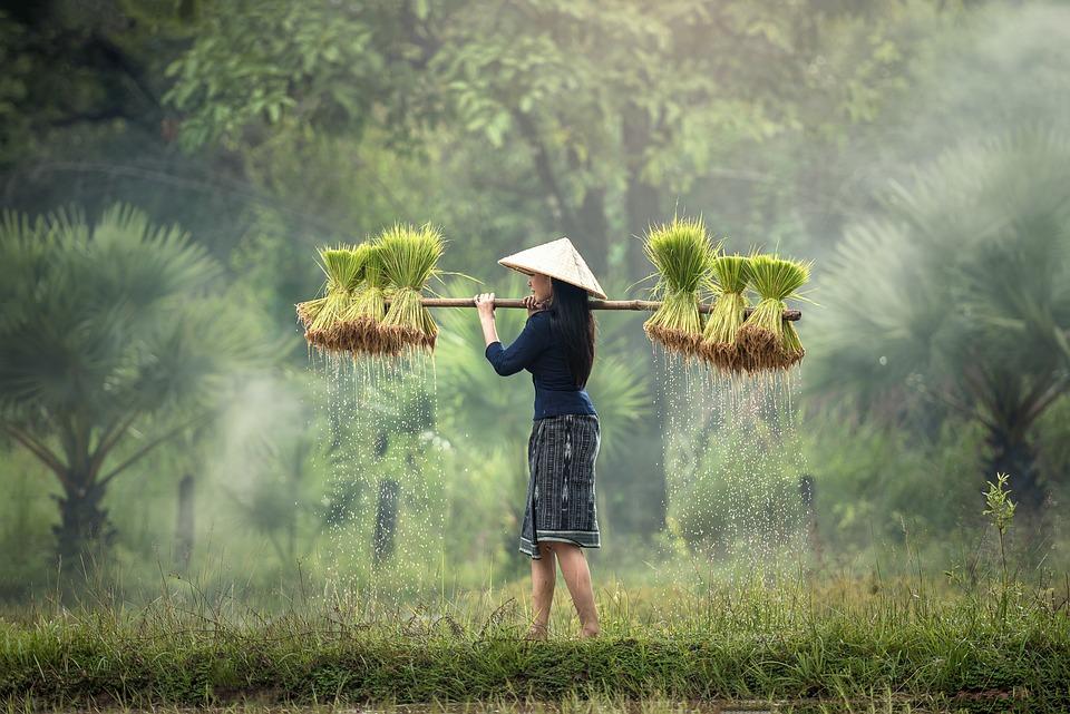 収穫, ミャンマー, ビルマ, 米農園, ベトナム, 栽培, タイ, 農地, 文化, 草, 人, 伝統的な
