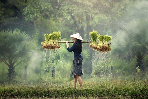 収穫, ミャンマー, ビルマ, 米農園, ベトナム, 栽培, タイ, 農地