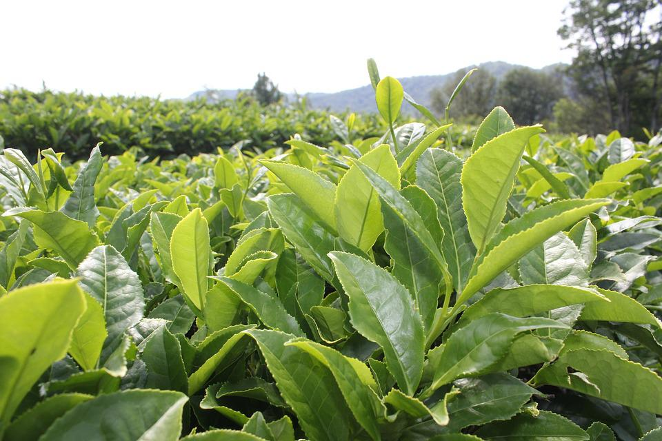 Čaj, Čajová Zahrada, Rostliny, List