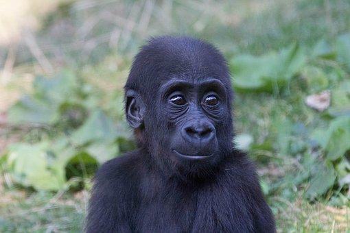 Gorila, Zoo, Moment, Baby, Zvíře