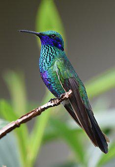 Hummingbird, Bird, Nature, Tropical