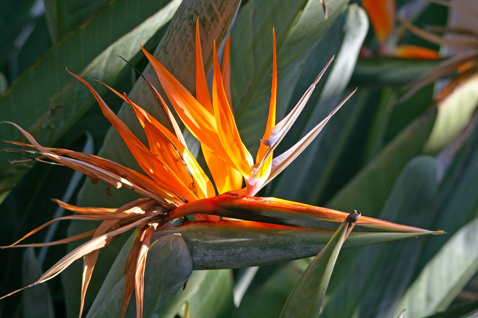 bird of paradise flower images pixabay download free pictures