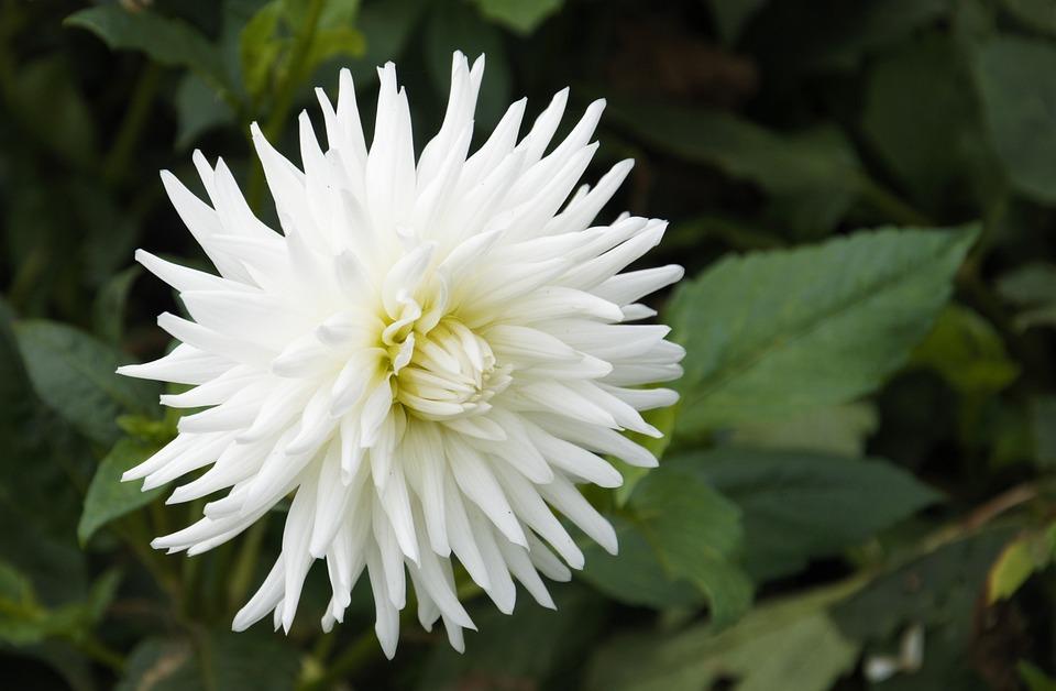 photo gratuite dahlia blanc fleur floraux image. Black Bedroom Furniture Sets. Home Design Ideas