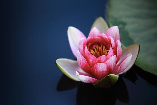 Water Lilies, Lotus, Pond, Blossom