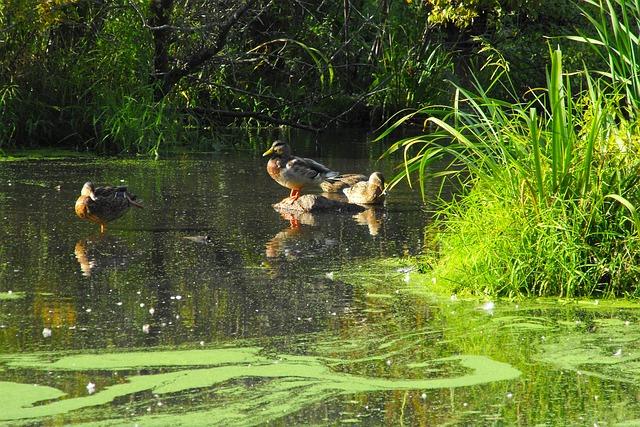Утки в пруду картинки
