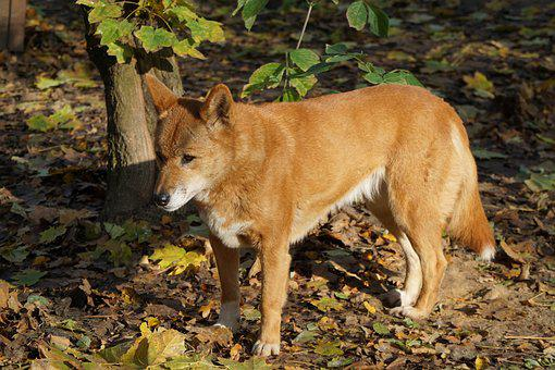 Dingo Dog Fur Australia Tail Red Brown Mam