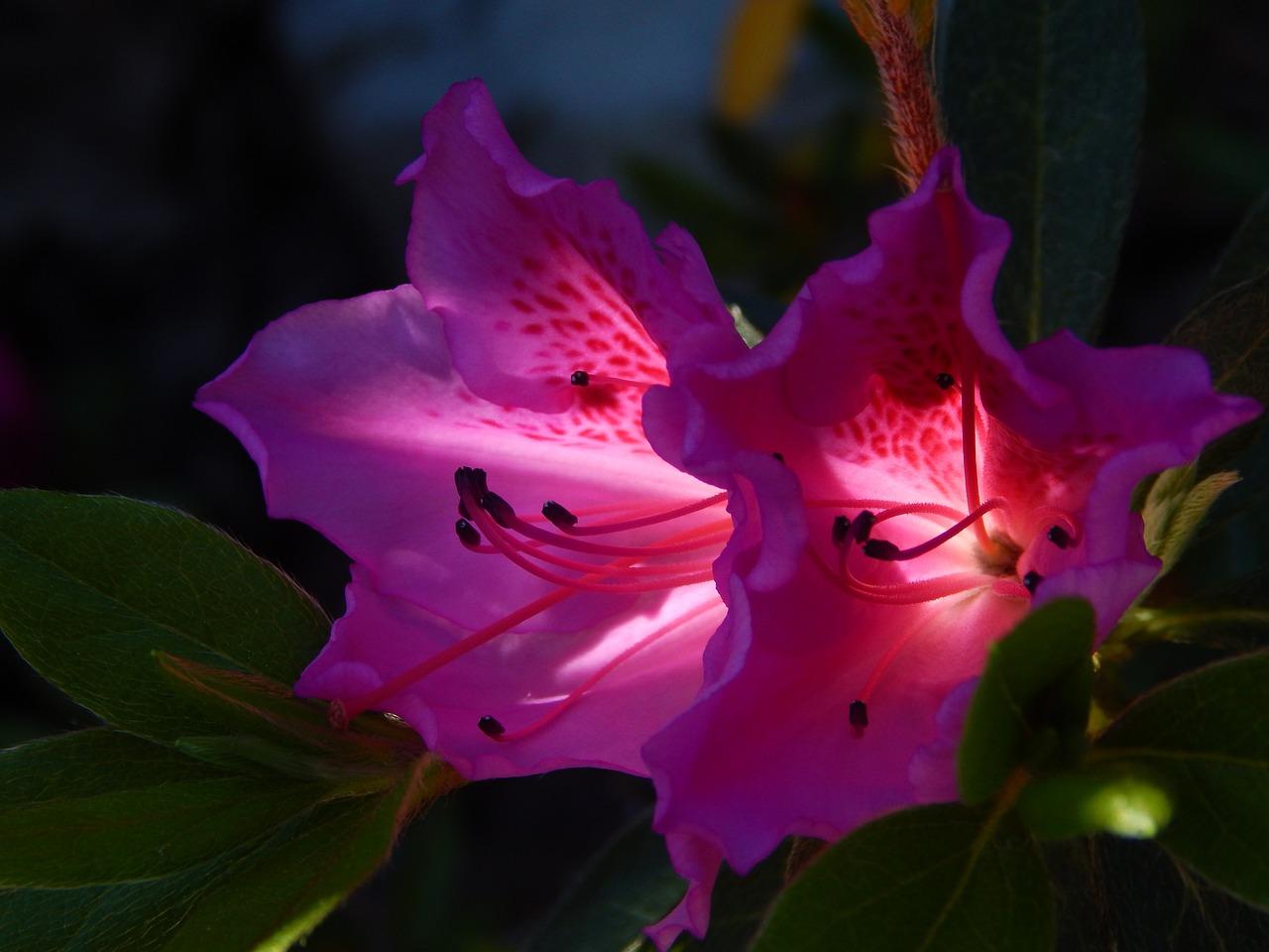 подробности картинки азалии цветка огромную задницу