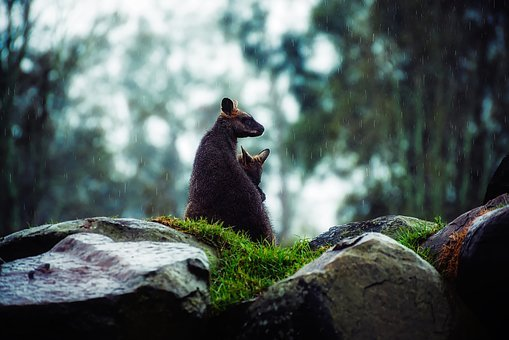 Wallaby Kangaroo Raining Weather Landscape