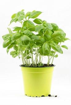 Basil, Basil Bush, Basil Pot, Herbs
