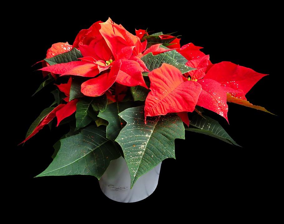 Weihnachtsstern Bilder · Pixabay · Kostenlose Bilder herunterladen