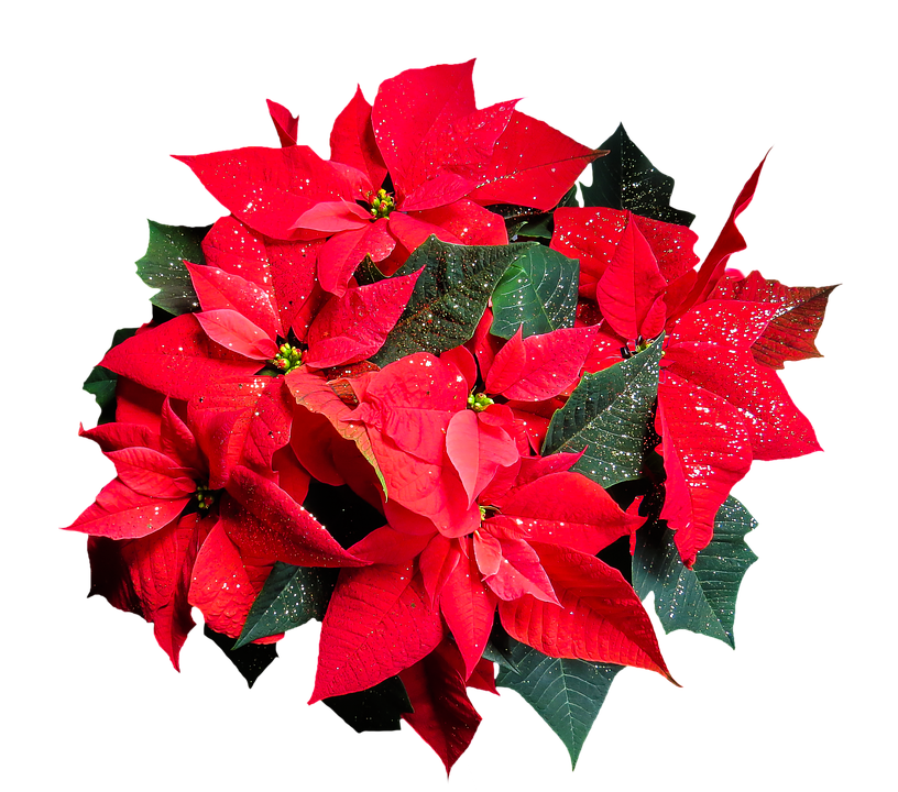 christmas, flower  free images on pixabay, Natural flower