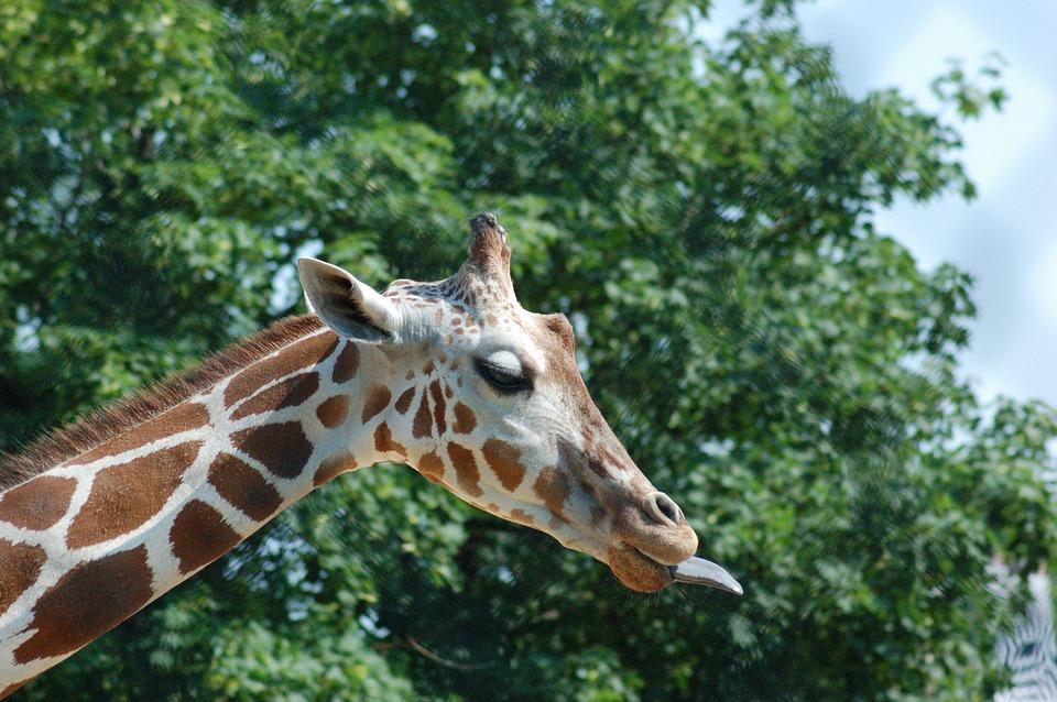 Giraffe, Africa, Animal, Tongue, Sticking Tongue Out