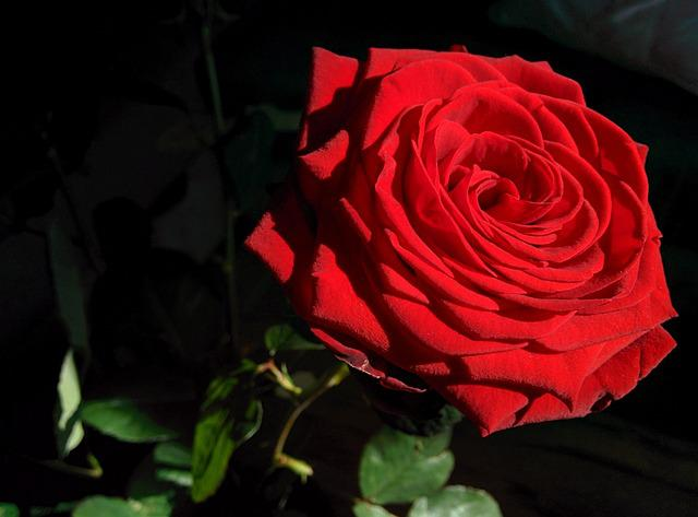 Rose Flower Sun · Free Photo On Pixabay