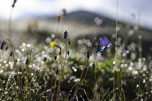 Virágok, Harangvirág, Rét, Nyár