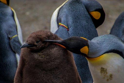 Emperor Penguin, Penguin, Young Penguin