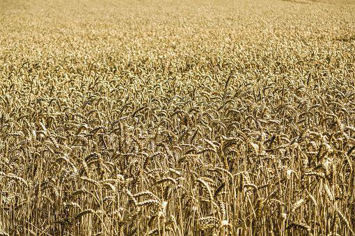 Cornfield, Corn, Wheat, Field, Farm