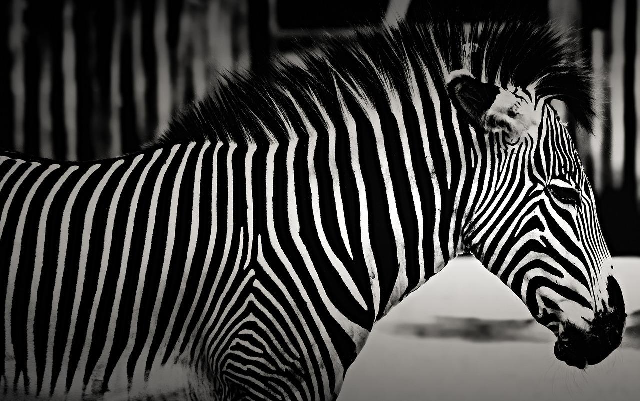 Открытка полосатая зебра, где где