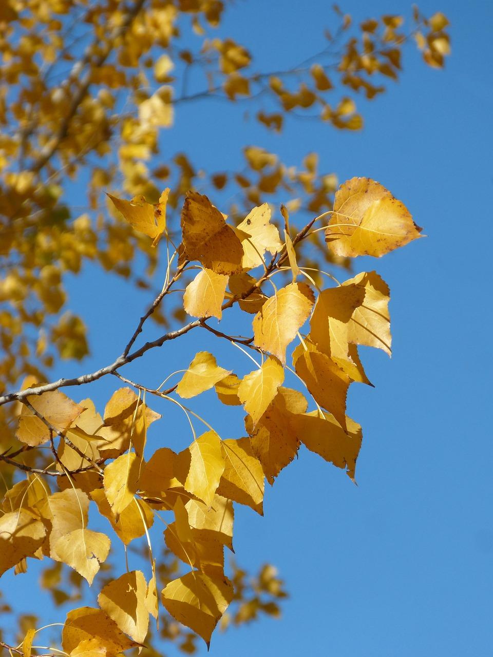 вянущие листья тополя фото пикантная обувь