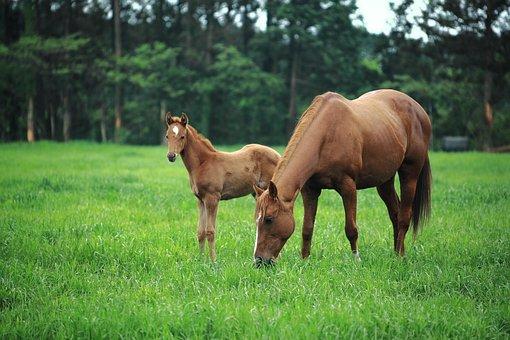 言葉, 済州島, 済州馬, ポニー, 競走馬, 競馬, 草原, 木, 森林