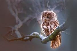 Owl, Bird, Predator, Branch, Nature