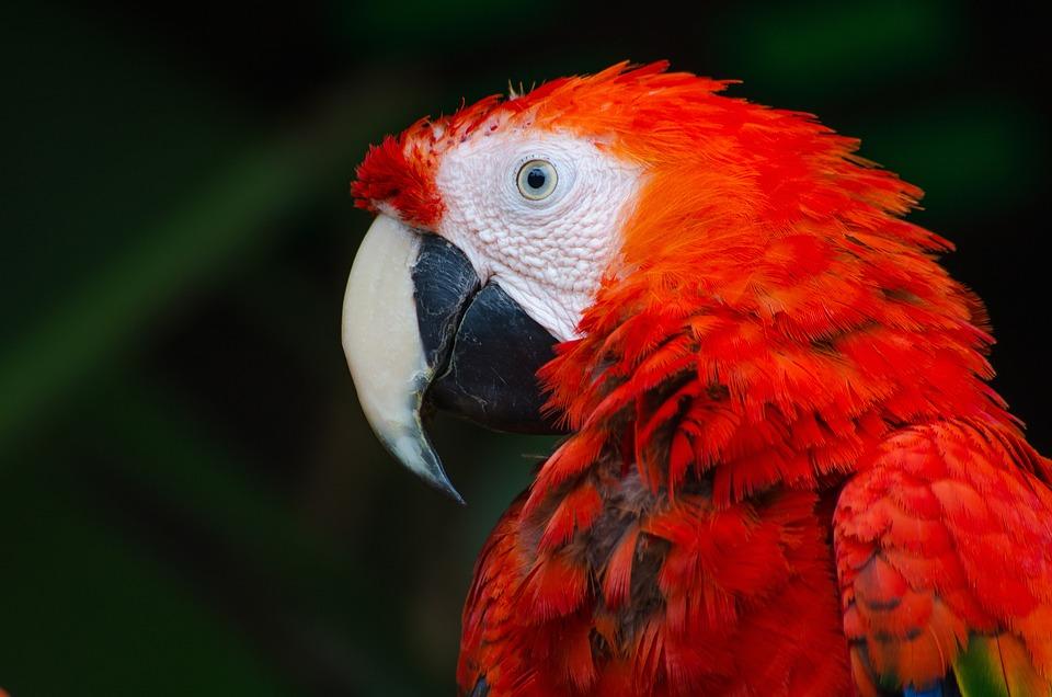 Ptak, Ara, Papuga, Czerwony, Pióra, Dziób, Głowa