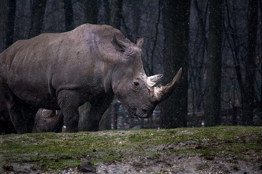 Animal, Forest, Nature, Rhino