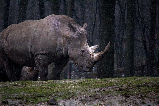 Animal, Forest, Nature, Rhino