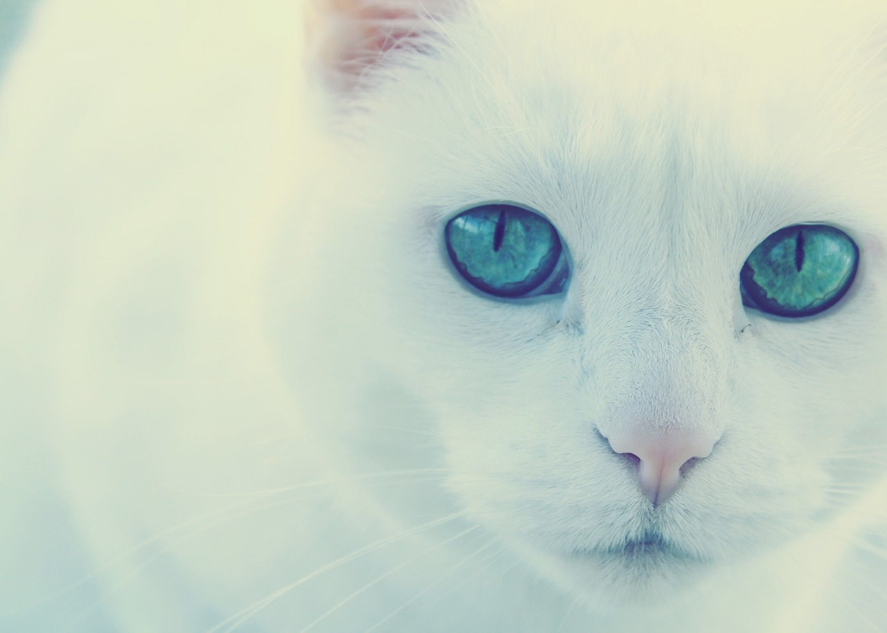 Картинки кошки белые с голубыми глазами