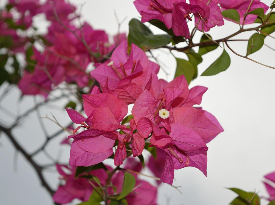 Bougainvillea pink paper free photo on pixabay bougainvillea pink paper flower plant mightylinksfo