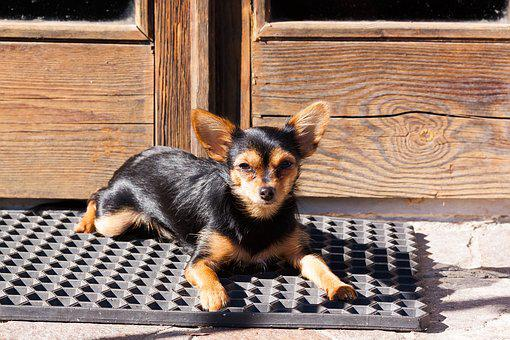 Yorkshire Terrier, Hybrid, Chihuahua