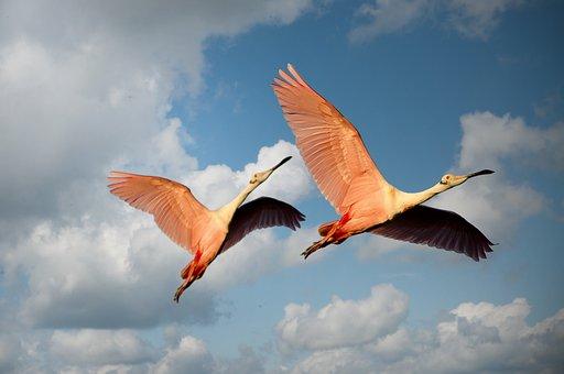 Flamingos, Birds, Couple, Pair, Flight